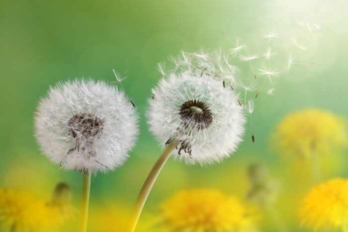 wonderful nature Dandelion Flower Images