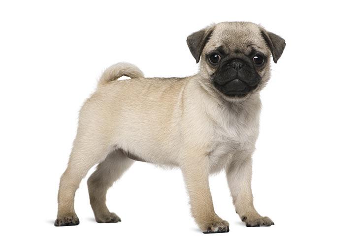 full white Pug Dog Images