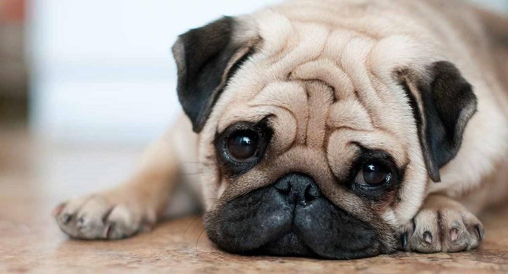 how long do pugs live image