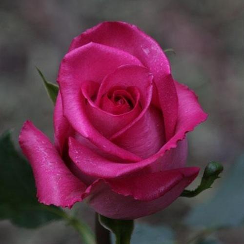 landscape nature Pink Roses Images