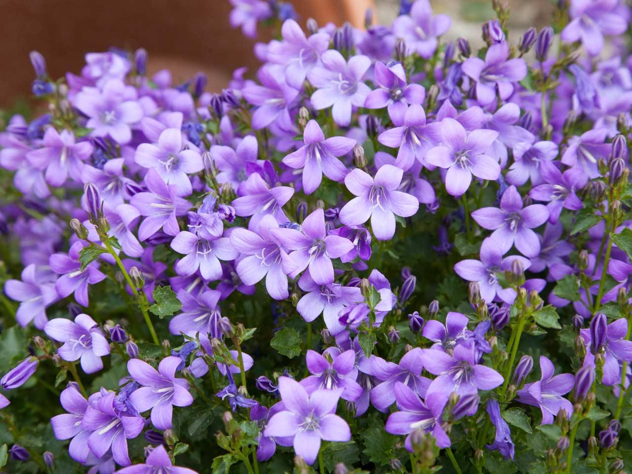 so nice natural Purple Flowers image