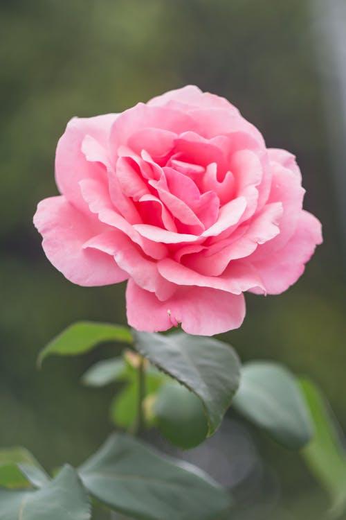 wallpaper of Pink Roses