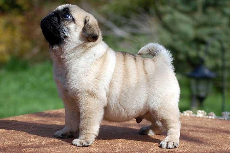 wonderful Pug Dog Images