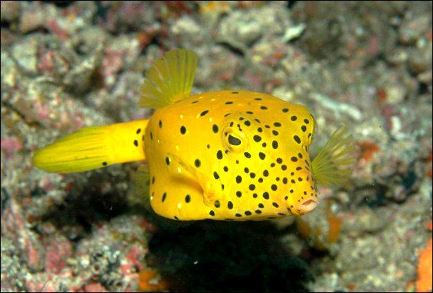awesome natural Boxfish Images