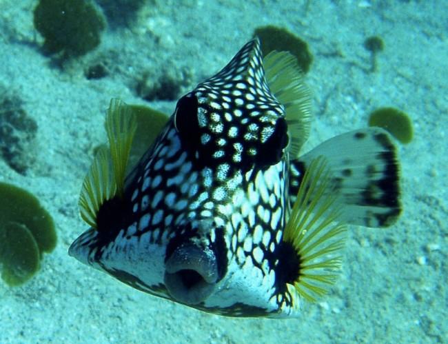 colorful animal Boxfish Images