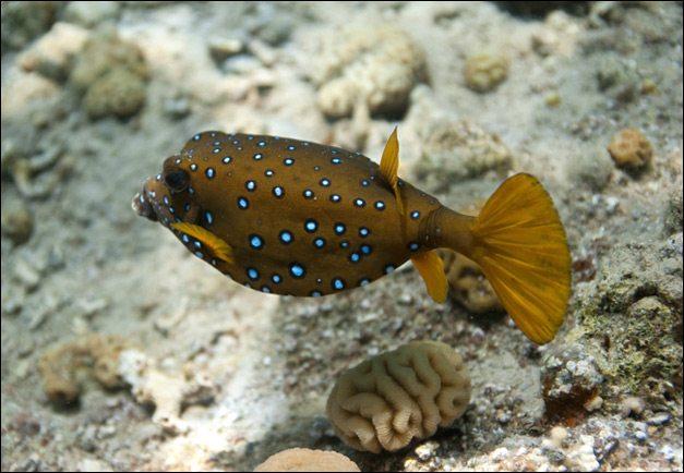 dark brown Boxfish Images
