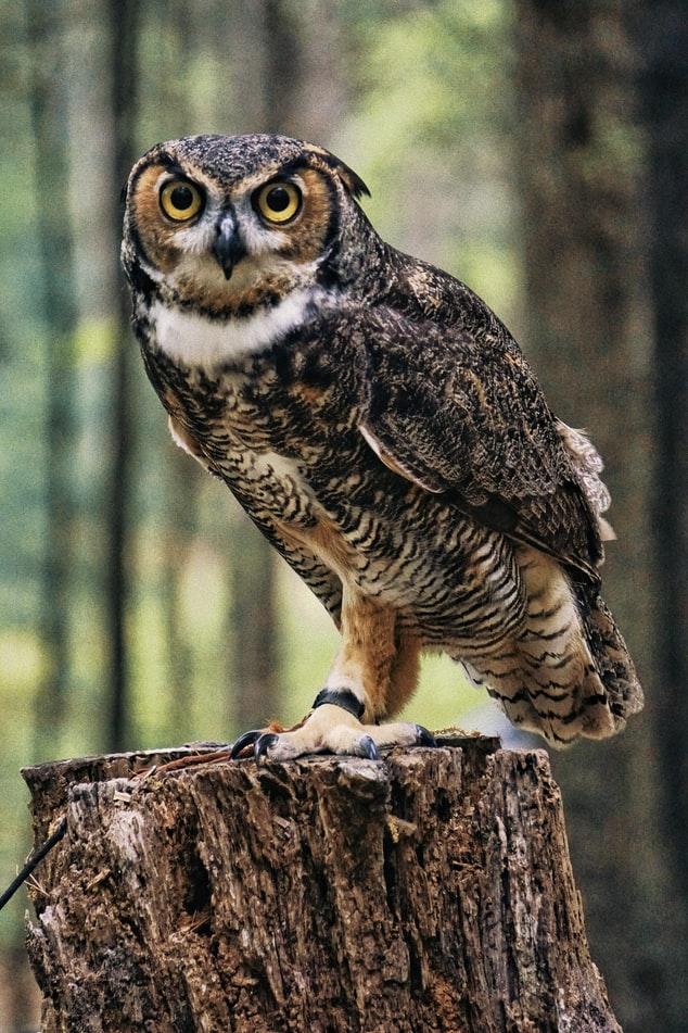 free natural Owl Wallpaper
