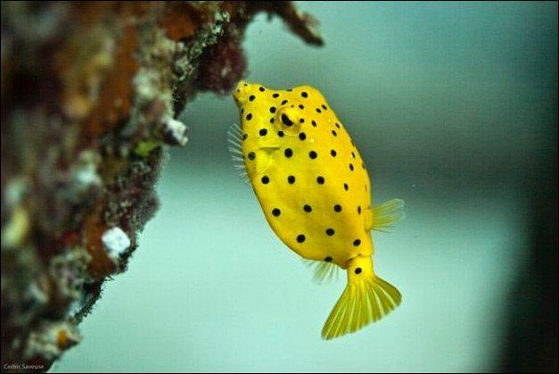 natural free Boxfish Images
