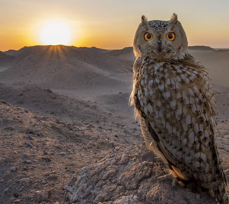 sundown Owl Wallpaper