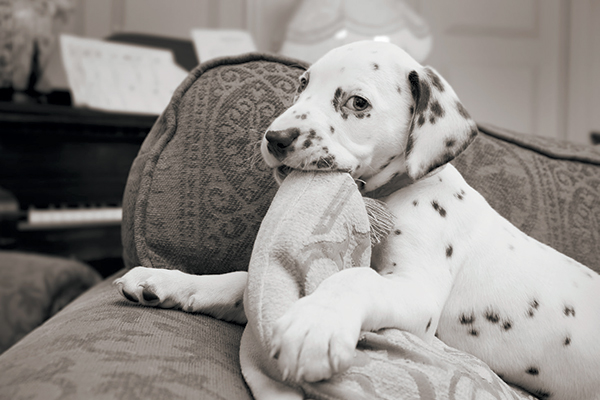 white Dalmatian Images