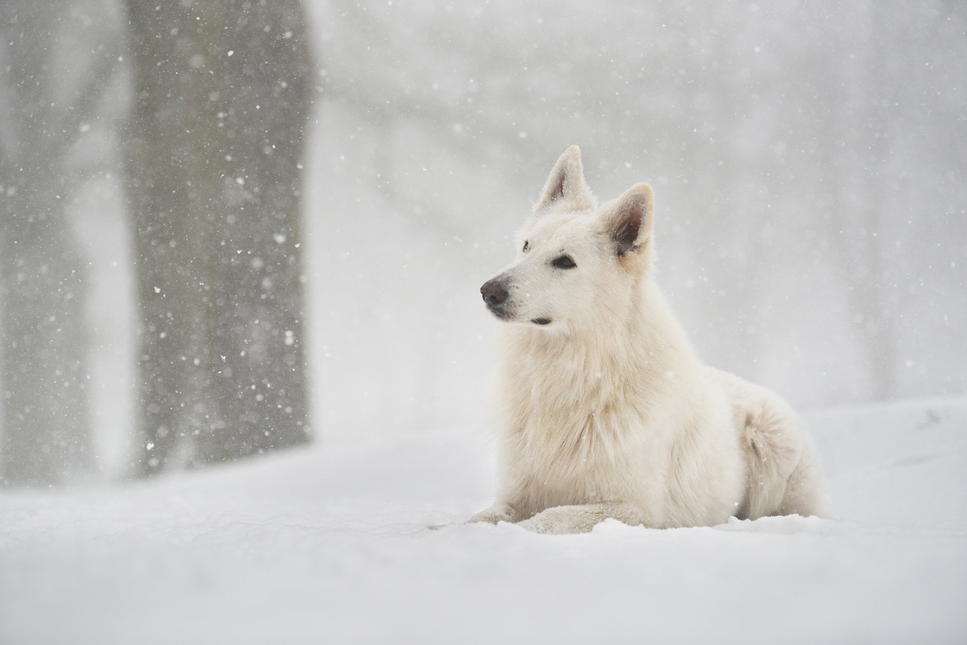 snowfall on Berger Blanc Suisse image