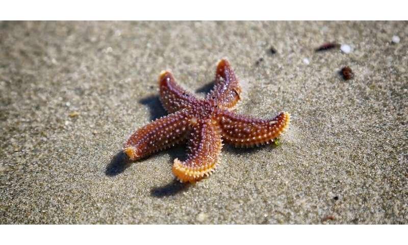 brown animal Sea Star Images