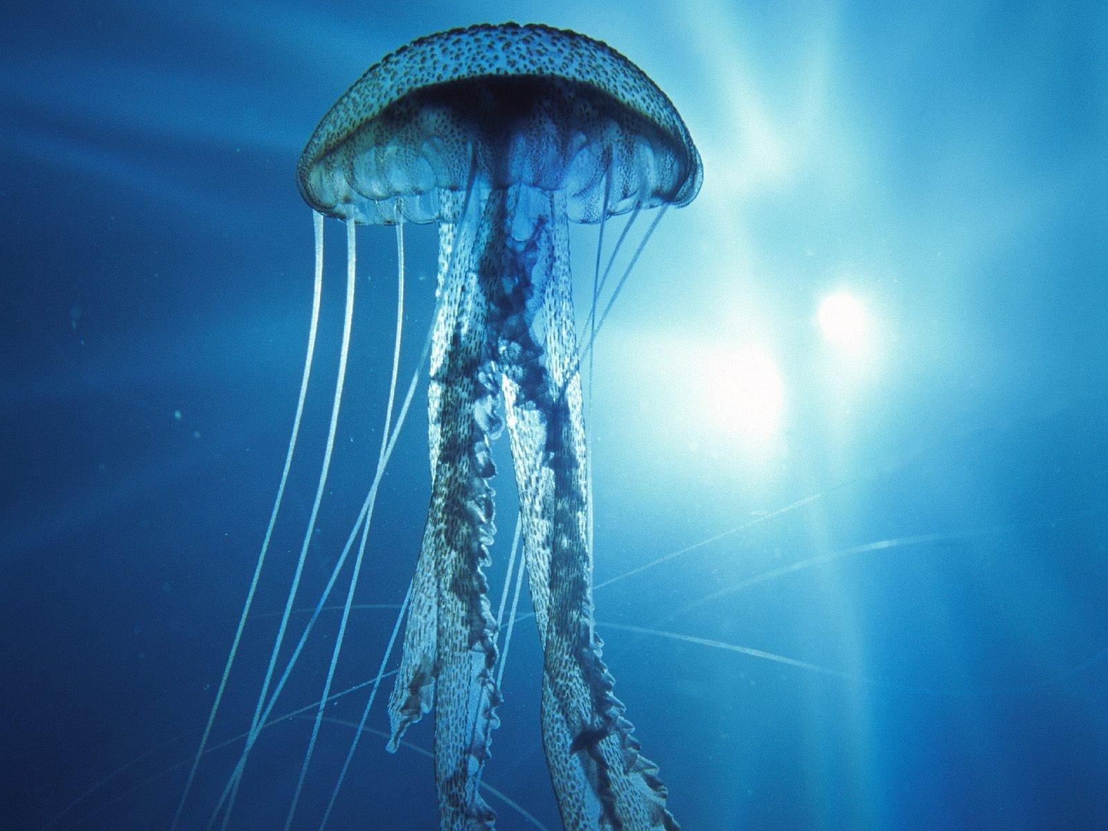 great Jellyfish Wallpaper