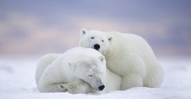 beautiful Polar Bear Wallpaper