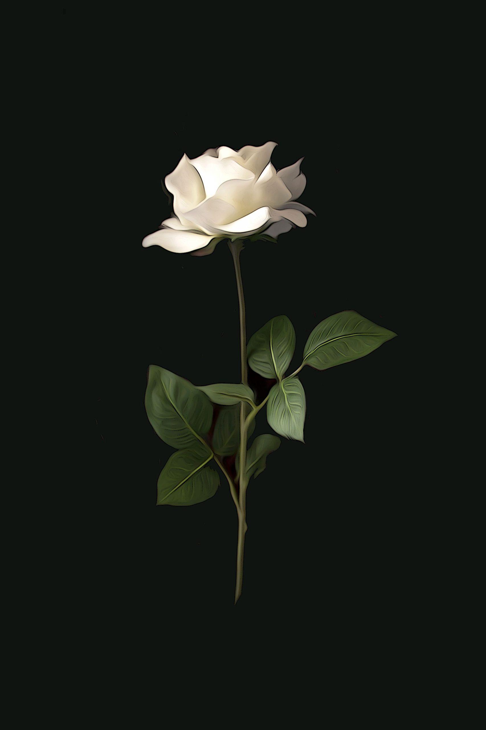 beautiful White Rose Wallpaper