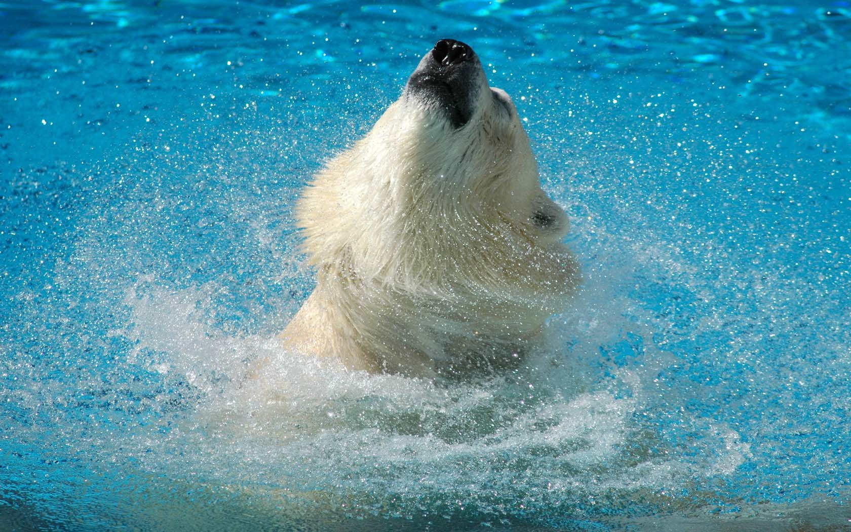 best animal Polar Bear Wallpaper