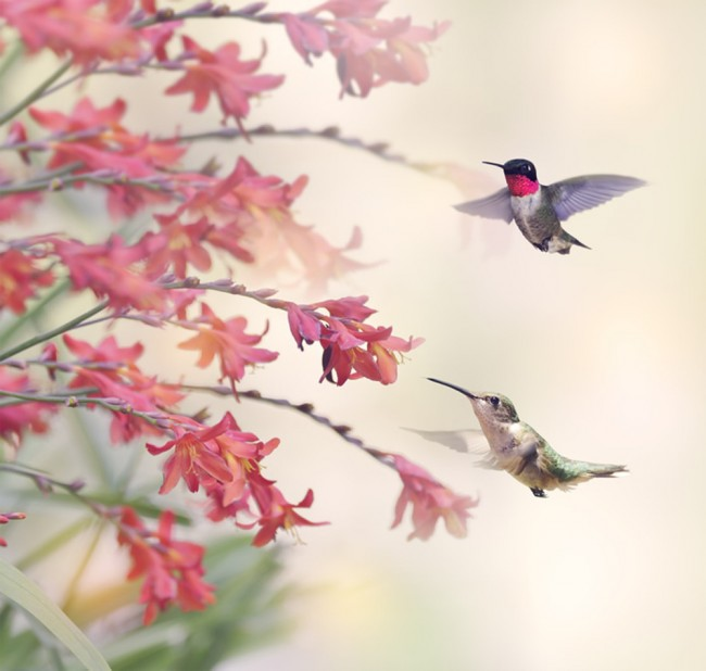 free flower Hummingbird Wallpaper
