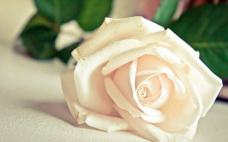 landscape nature White Rose Wallpaper