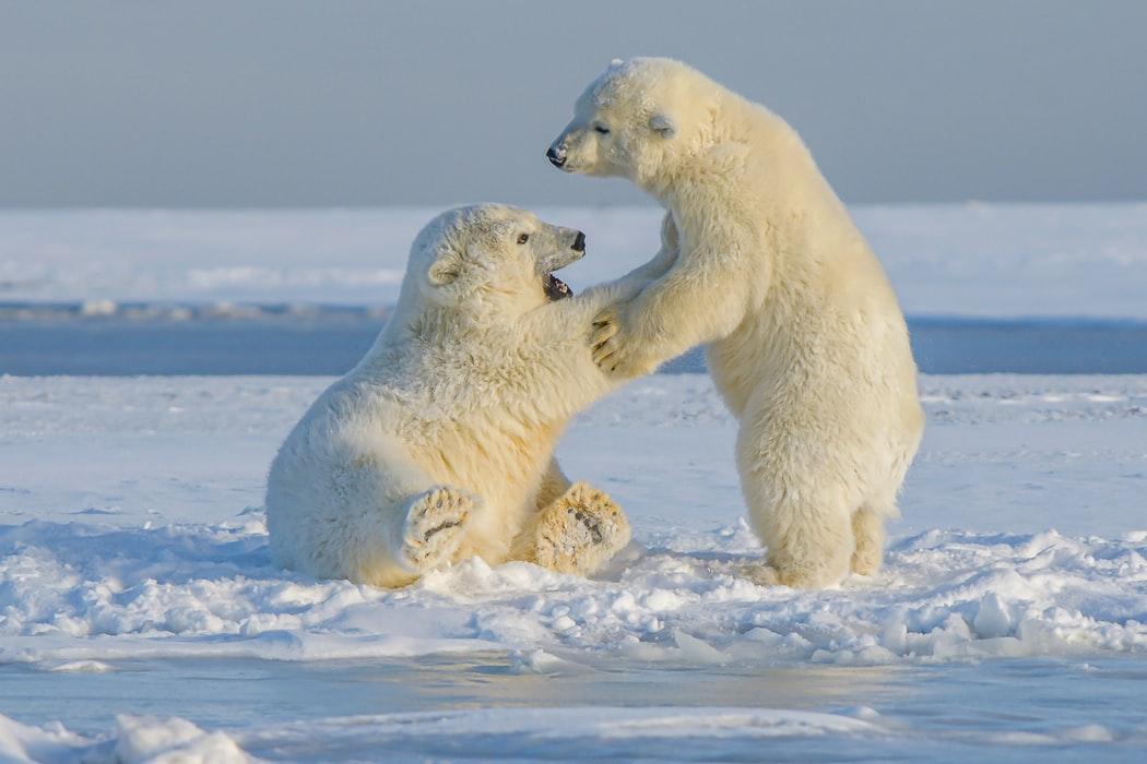 sea in standing Polar Bear Wallpaper