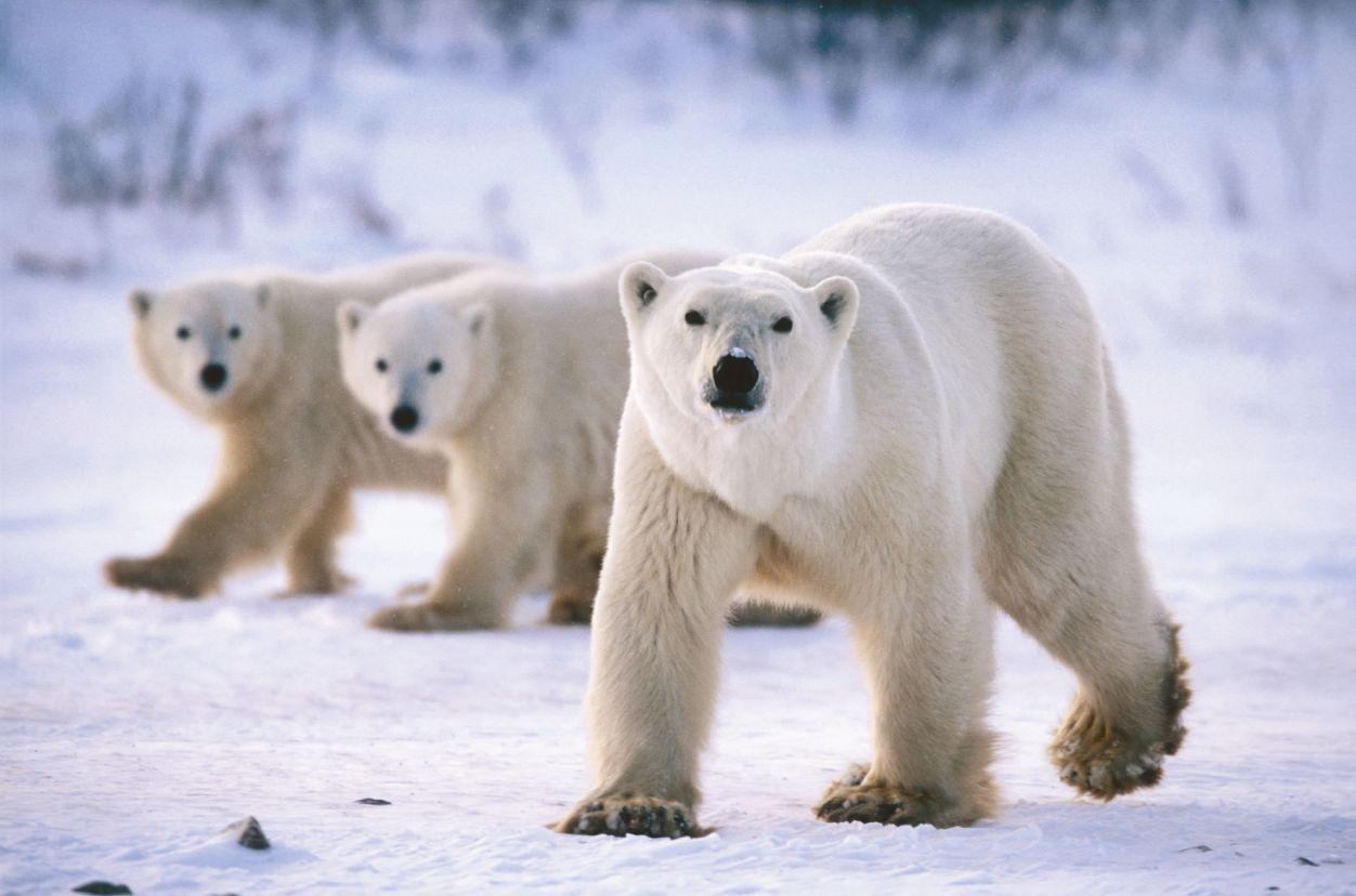 three Polar Bear Wallpaper