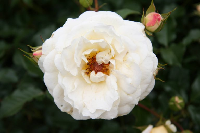widescreen White Rose Wallpaper