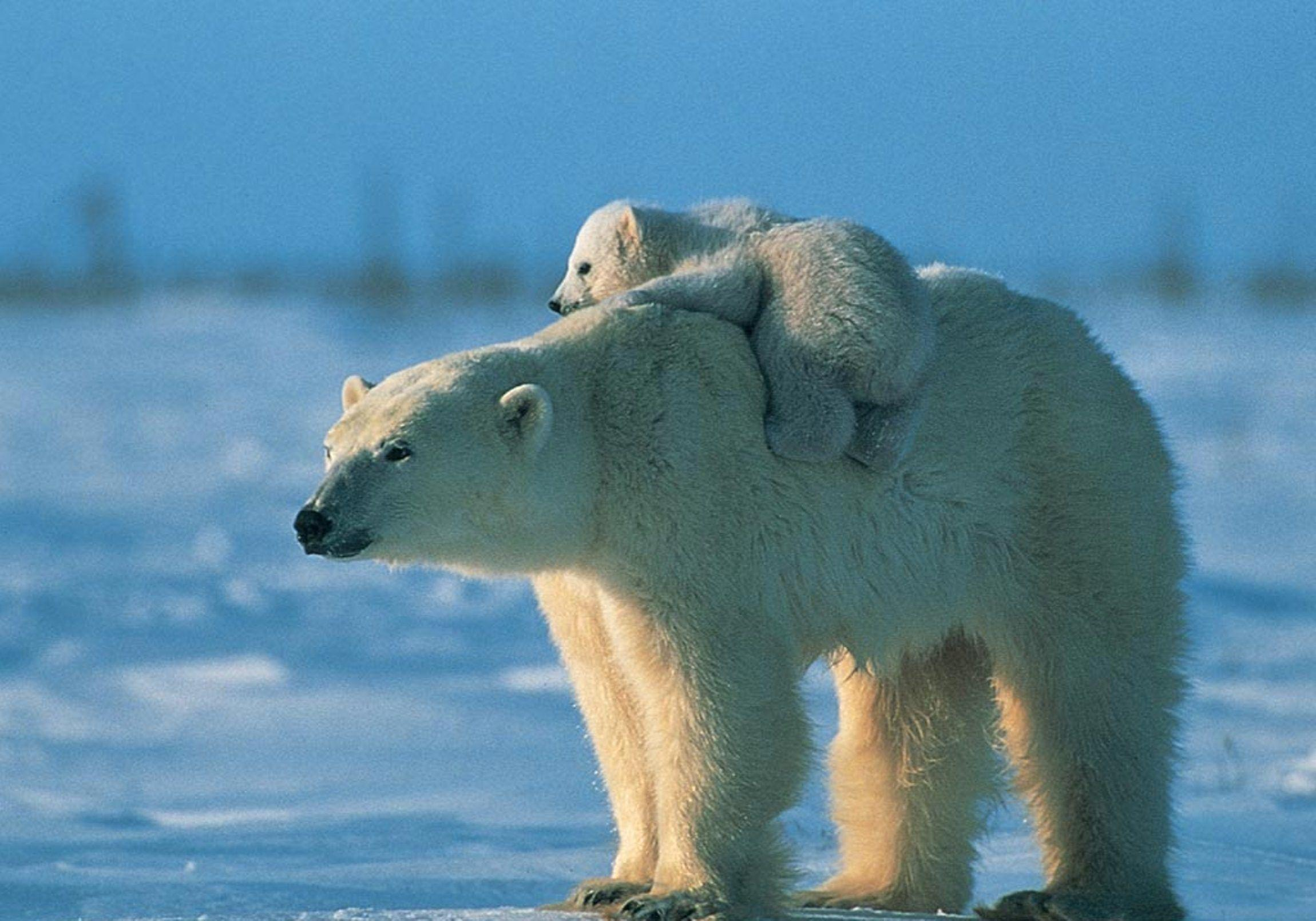 wonderful Polar Bear Wallpaper
