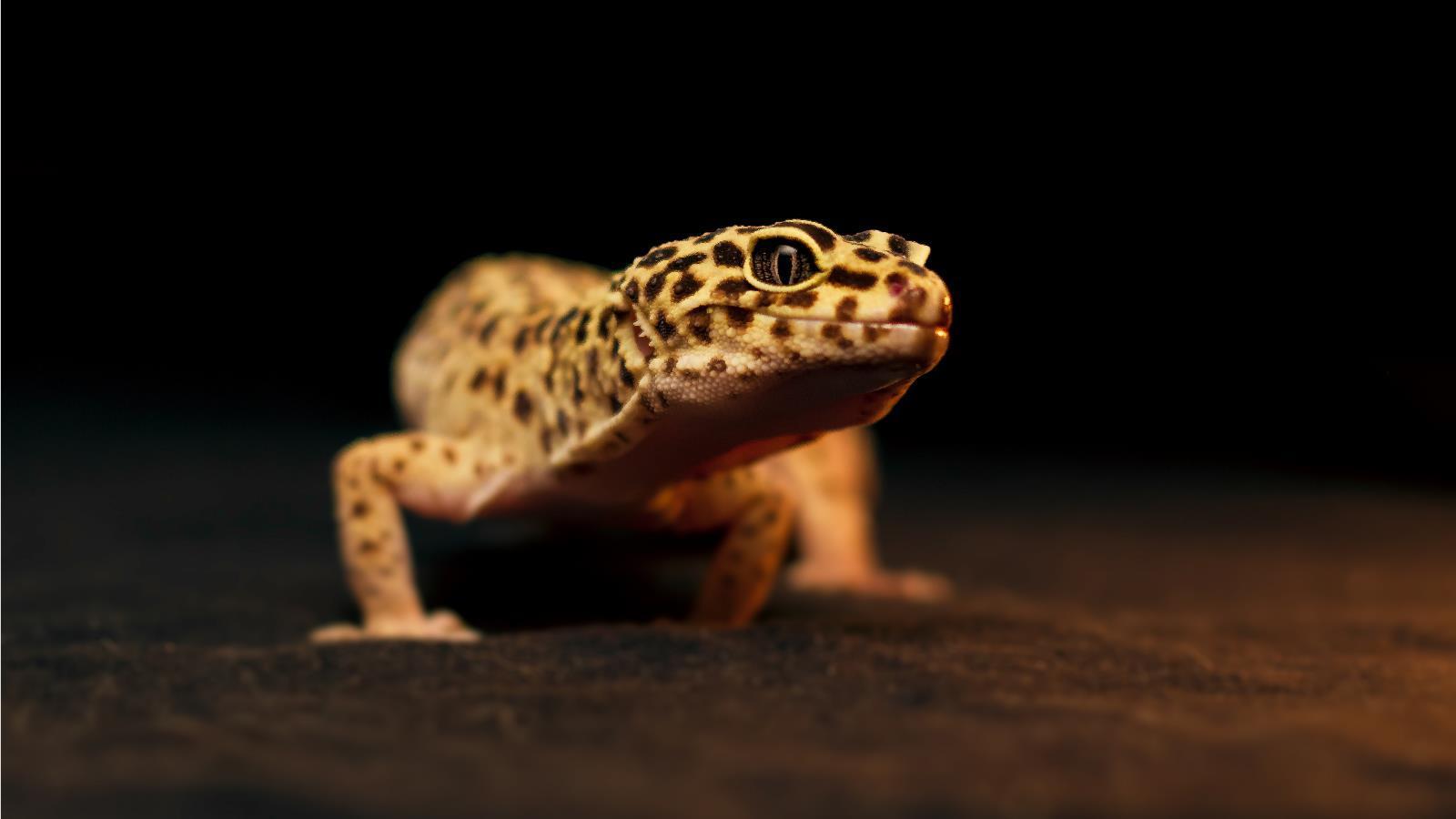 Animal Gecko Wallpaper