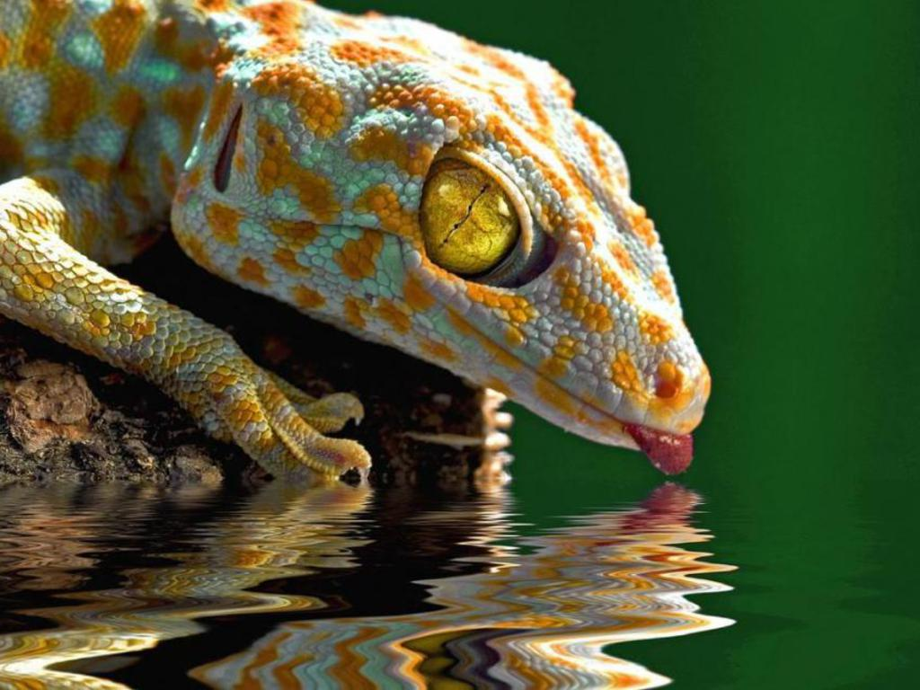Yellow Eyes Gecko Wallpaper