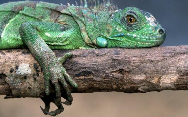 animal Iguana Wallpaper