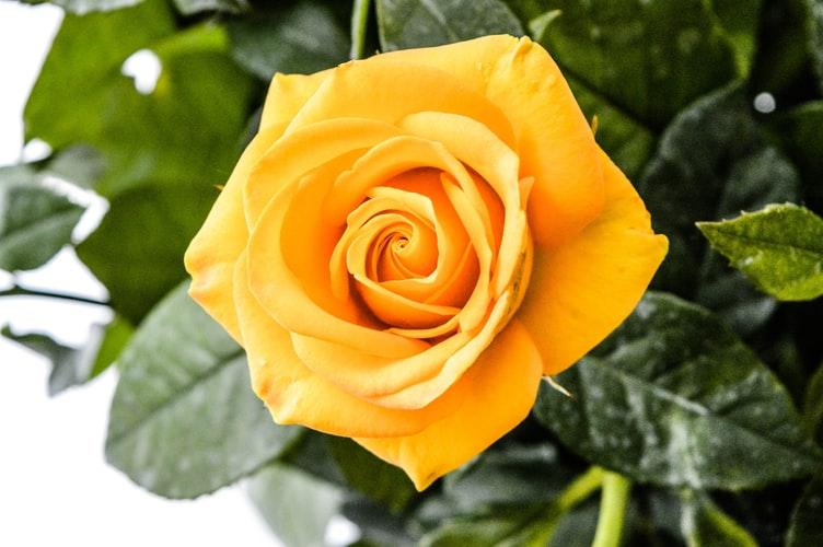 beautiful Yellow Rose image