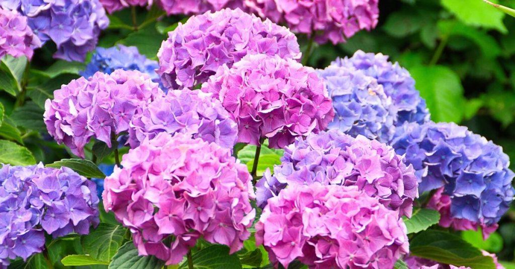 beautiful nature Hydrangea Flower