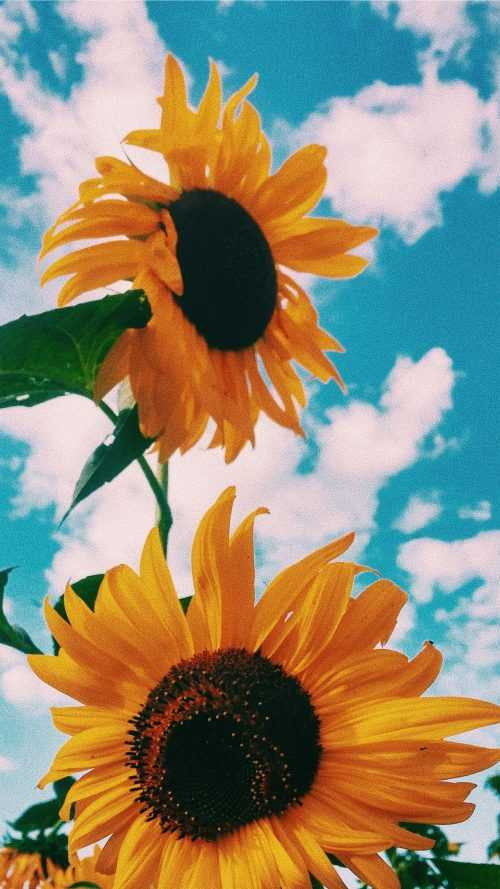 beautiful nature Sunflower Wallpaper