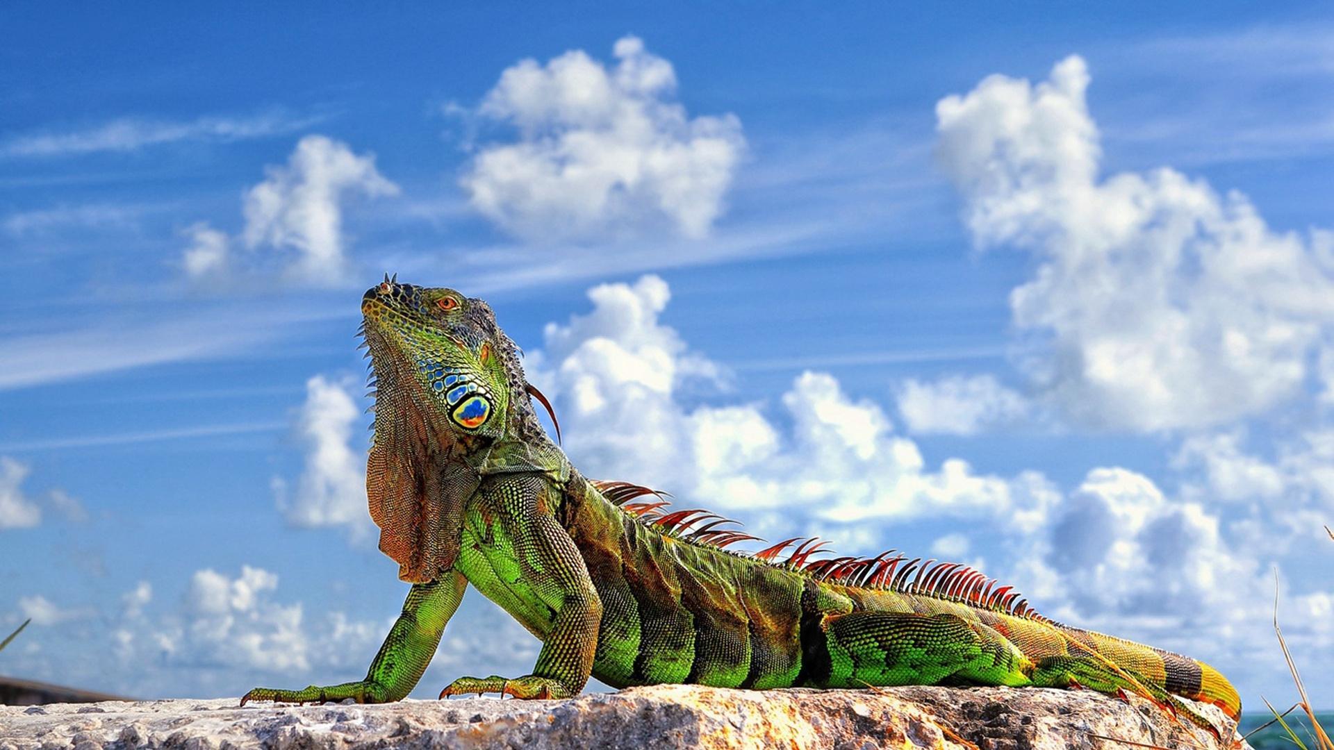 best Iguana Wallpaper