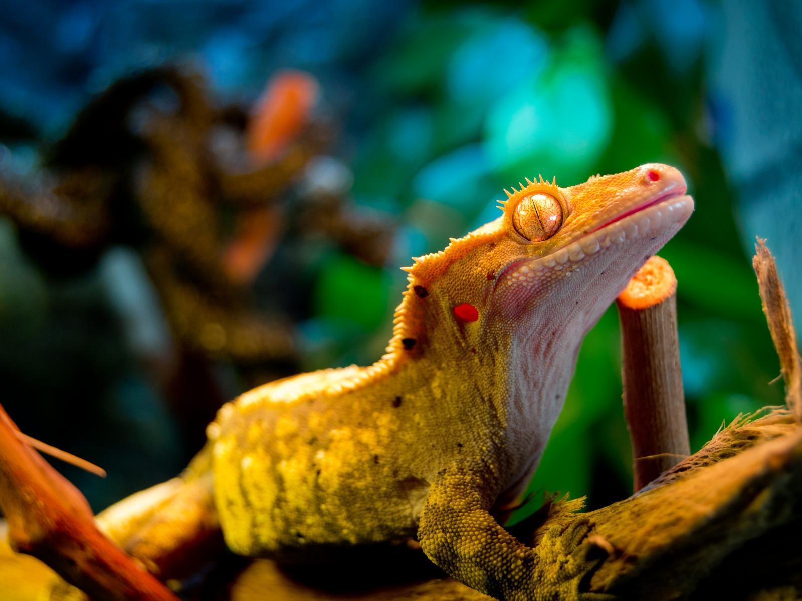 best animal Gecko Wallpaper