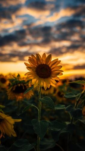 darkness clouds Sunflower Wallpaper