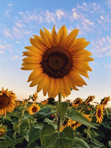 free natural Sunflower Wallpaper