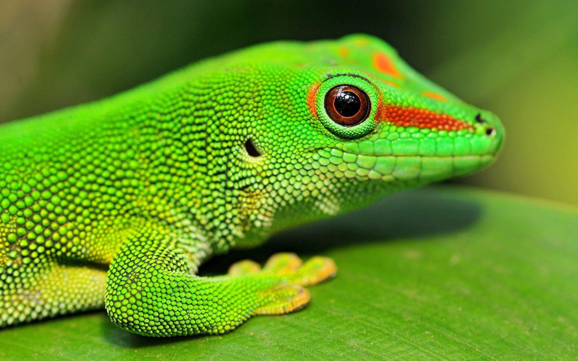 full green Gecko Wallpaper
