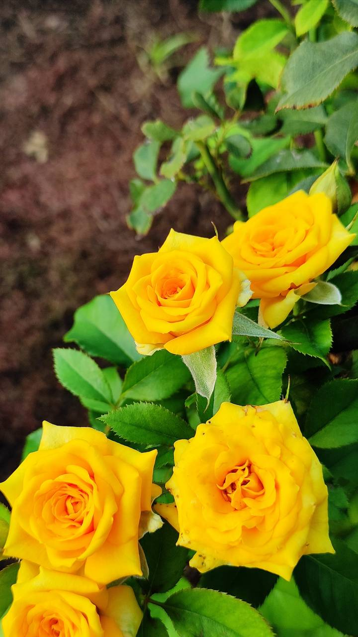 great natural Yellow Rose image