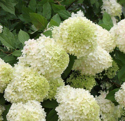green Hydrangea Flower image