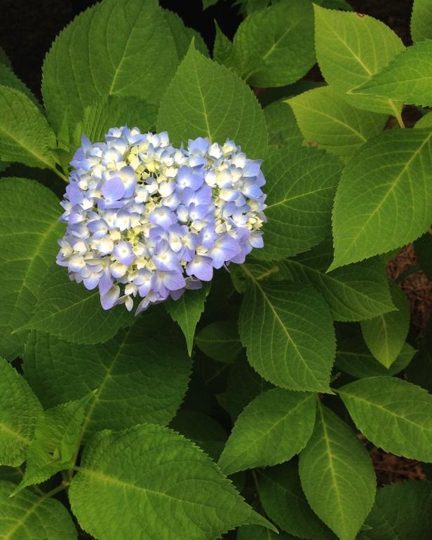 landscape nature Hydrangea Flower
