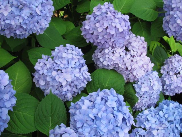 most popular Hydrangea Flower
