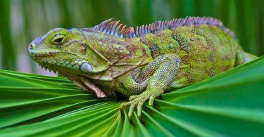 most popular Iguana Wallpaper