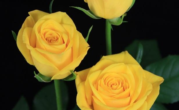 most popular Yellow Rose image