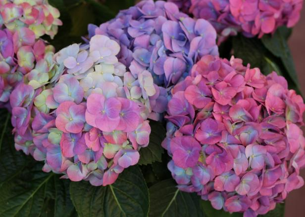 nice natural Hydrangea Flower