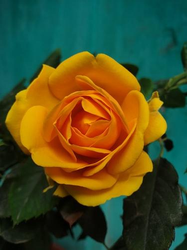 so nice natural Yellow Rose