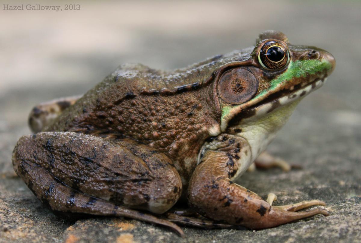 wallpaper of Green Frog