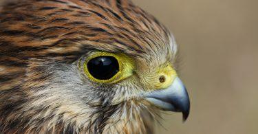 black eye HD Hawk Wallpaper