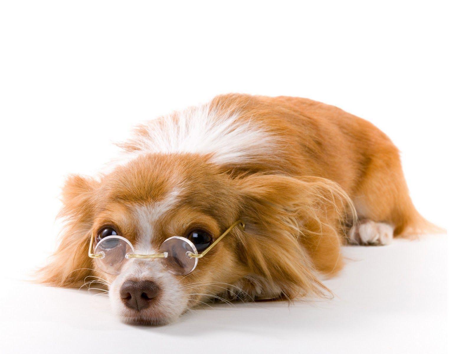 white glasses Funny Dog Wallpaper