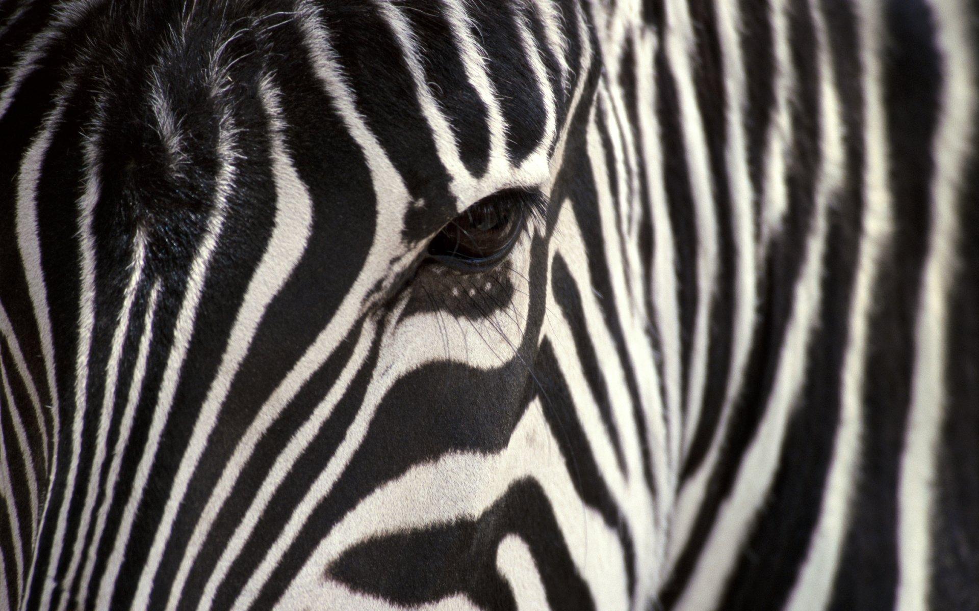 black eyes Zebra Wallpaper