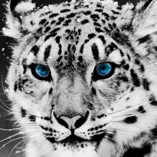 blue eyes for Tiger Wallpaper